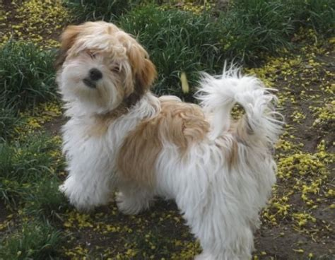 1000 images about havanese dogs on coats