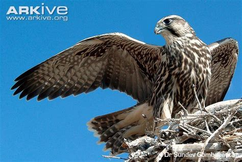 40 best images about falcons nest on pinterest atlanta falcons football wall and blog 40 best images about lionel bird of prey on pinterest