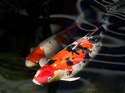 foto tato ikan koi cara merawat dan memelihara ikan koi yang benar