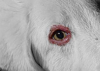 blepharitis in dogs eye problems lovetoknow