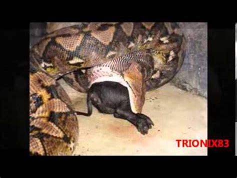 imagenes anacondas reales anacondas gigantes las anacondas reales mas grandes del