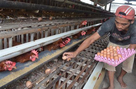 Www Bibit Ayam Petelur harga telur mengalami kenaikan di desa plaosan magetan berita daerah