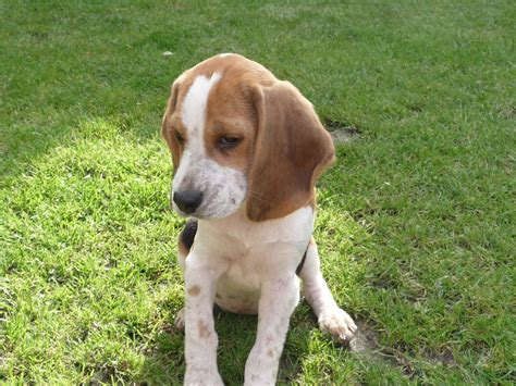 puppies looking for homes beagle puppies looking for loving homes seaham county durham pets4homes