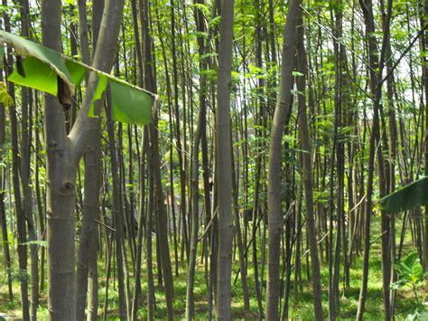 Harga Bibit Asparagus berkebun sengon yuk alumni pgan purwokerto 1990