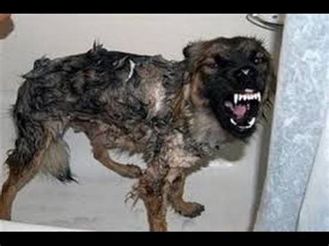 when do puppies get rabies with rabies www pixshark images galleries with a bite