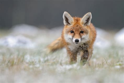 the foxes how a russian scientist bred the domesticated foxes
