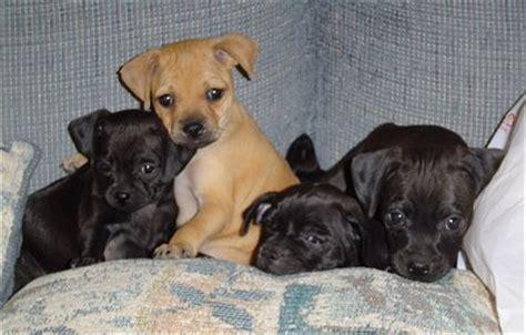 min pin pug mix puppies carlin pinscher miniature pinscher pug mix info puppies pictures