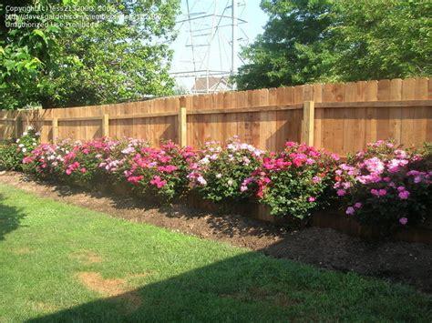 Landscape Ideas Using Knockout Roses Landscaping Landscaping Ideas Knockout Roses
