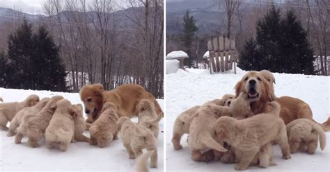golden retriever in the snow just a golden retriever with nine puppies in the snow 171 twistedsifter