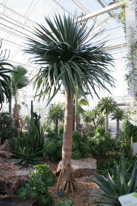 dracaena draco dragon treerhs gardening