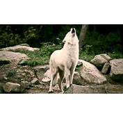 Howling White Wolves Wallpaper  1920x1080 13433