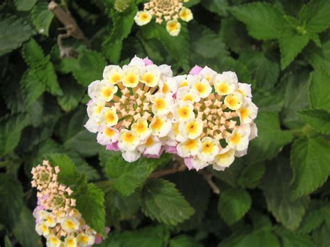 size of lantana file lantana jpg wikimedia commons