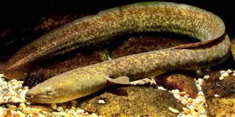 Bibit Ikan Sidat Di Jawa Timur lipi ikan sidat terancam punah merdeka