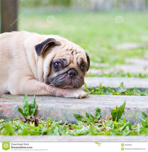 are pugs guard dogs pug stock photo image 33633530