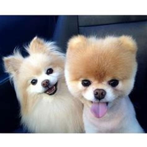 clipped pomeranian for sale 1000 images about omg so pet on baby puppies pomeranians and