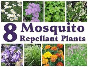 8 mosquito repellent plants mother s home