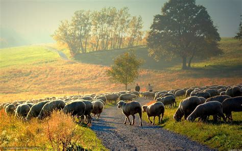 new year sheep wallpaper tlcharger fond d ecran mouton matin nature paysage