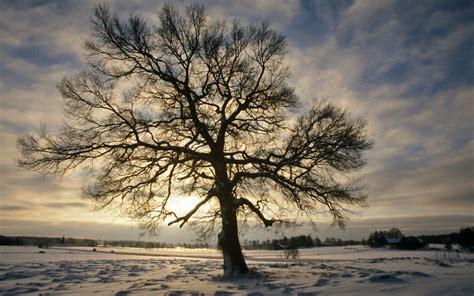 englisch eiche englisch eiche im winter schweden