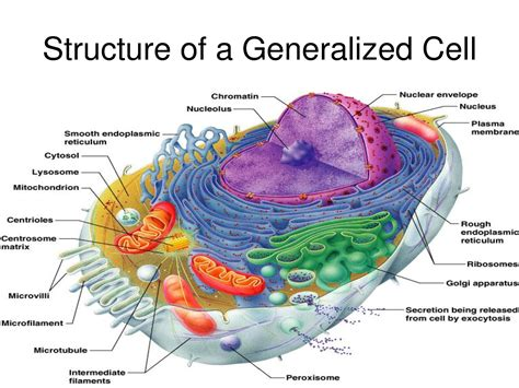 diagram of a cell vacuole model images biology human