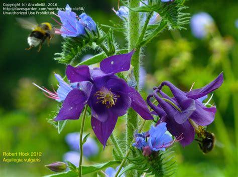 plantfiles pictures aquilegia species columbine european columbine european crowsfoot