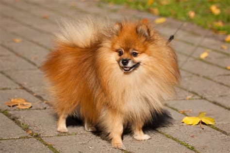 big pomeranian best breeds for apartments show