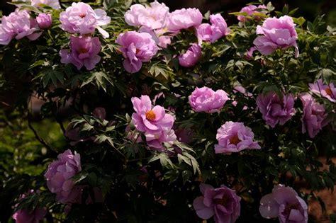 fiore di peonia fiore di peonia fiori e piante