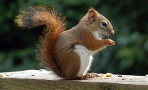 ecureuil roux américain tamiasciurus hudsonicus : waza