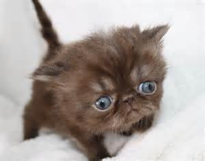 himalayan cats chocolate himalayan cat www imgkid the image kid