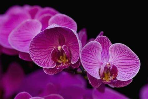 orchidea fiore cura scegliere le orchidee dendrobium cura orchidee come