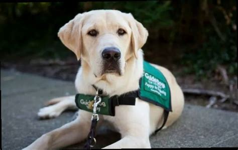 guide dogs for the blind active in our community goleta airport pet hospital goleta ca