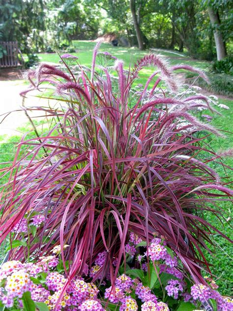 pennisetum fireworks ymker greenhouse and landscaping