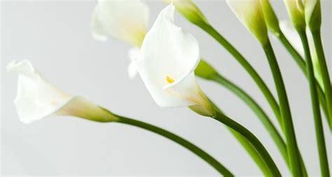 pianta da appartamento con fiori piante da appartamento con fiori piante da interno