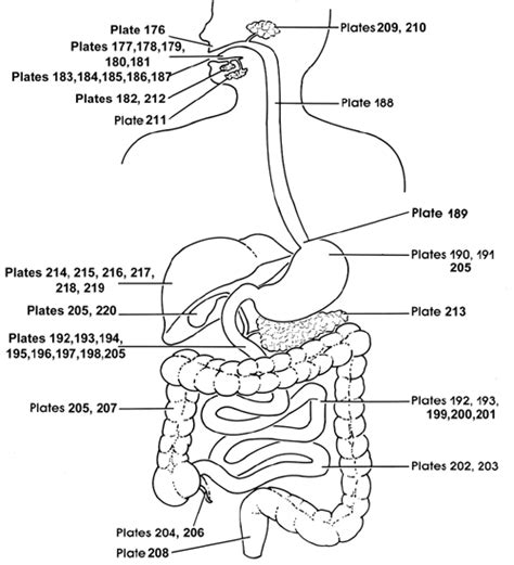 Review Sheet Exercise 38 Anatomy Of The Digestive System