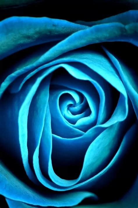 blue rose iphone  wallpaper  iphone wallpapers