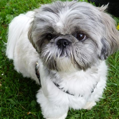 fun shih tzu haircuts poodle forum standard toy fun shih tzu haircuts poodle forum standard poodle fun