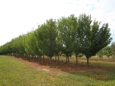 snow goose cherry tree prunus x snow goose hess landscape nursery
