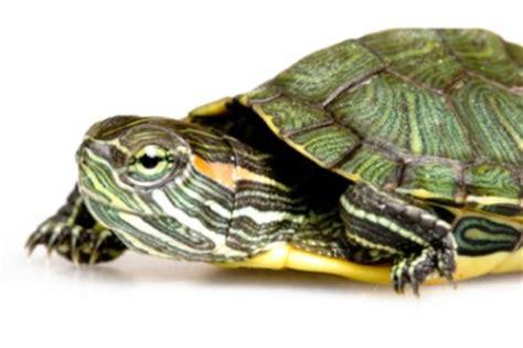 Heat L For Aquatic Turtles by Aquatic Turtles Petstarter
