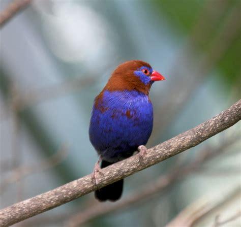 uccelli da gabbia uccelli da gabbia granatino purpureo