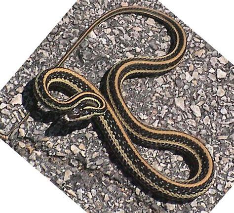 Gardener Snake by Gardener Snake