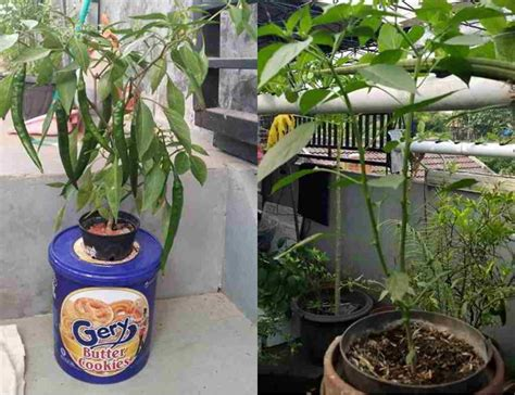 Pupuk Bunga Cabe 6 cara mudah dan panduan lengkap menanam cabai hidroponik
