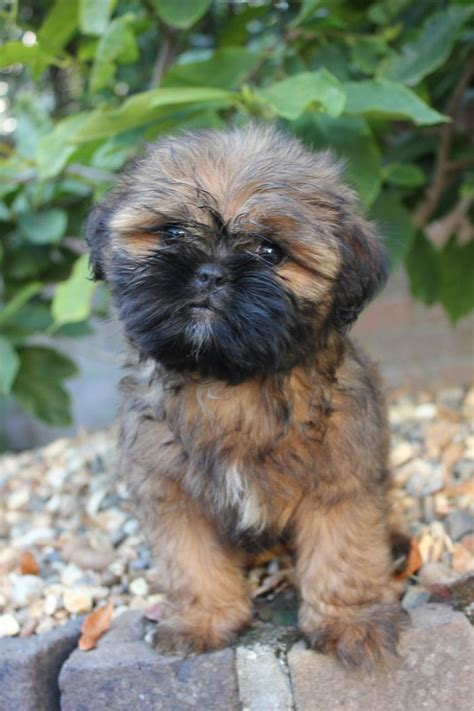 shih tzu peekapoo mix pug shih tzu pug zu pug mixed breeds wolves puppys and pug