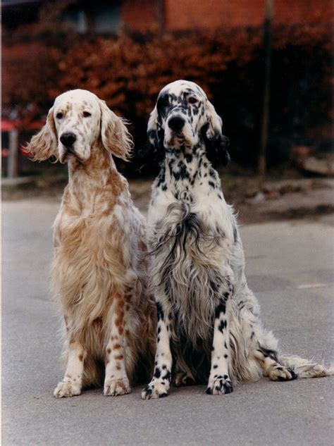 english setter dog images english setters cute pinterest