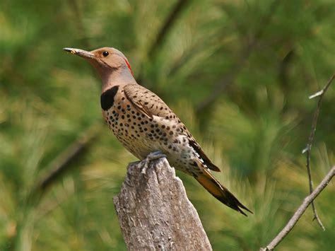 northern flicker cubs