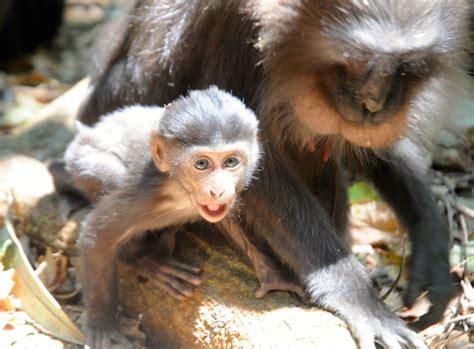 Gendongan Bayi Monyet beginilah kepemimpinan dalam masyarakat monyet sulawesi