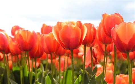 coltivare tulipani in vaso bulbi di tulipano bulbi coltivare tulipani