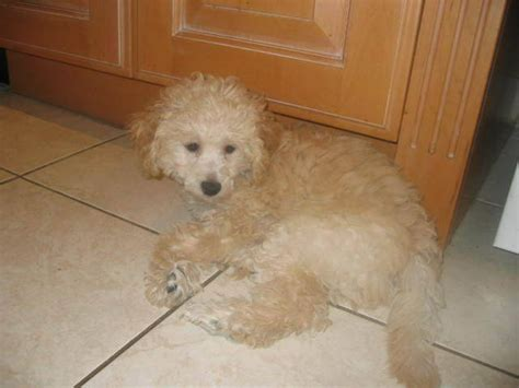 poodle puppies for adoption miniature poodle puppies for sale adoption from mississauga ontario breeds picture