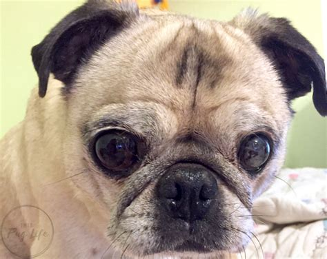 my pugs nose is pug reviews walter s balm giveaway this pug