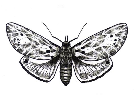 moth tattoos designs moth drawing zoeken