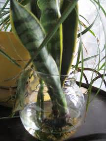 Garden Snake Care Snake Plant Care Tips For Propagating Snake Plants