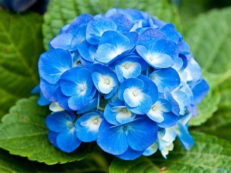 blue flowers names and meanings 21 hd wallpaper hdflowerwallpaper com